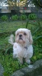 Gary, chien Shih Tzu