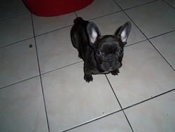 Gary, chien Bouledogue français