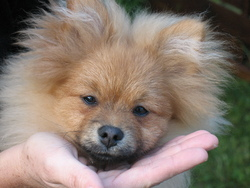 Gary, chien Spitz allemand
