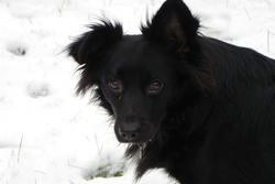 Gary, chien Épagneul breton