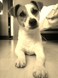 Gary, chien Jack Russell Terrier
