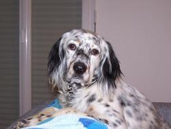 Gary, chien Setter anglais