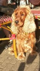 Gary, chien Cocker anglais