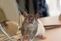 Gary, rongeur Rat