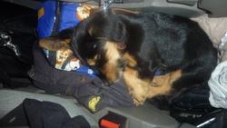 Gary, chien Teckel