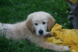 Gary De La Fôret Du Kranou, chien Golden Retriever