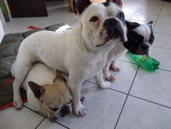 Gasby, chien Bouledogue français