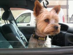 Gasco, chien Yorkshire Terrier