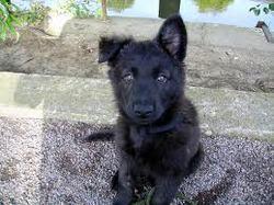 Gasha , chien Berger hollandais