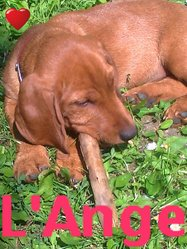 Gasko, chien Basset fauve de Bretagne