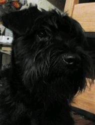 Gasko, chien Schnauzer