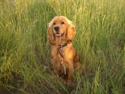 Gaslo, chien Cocker anglais