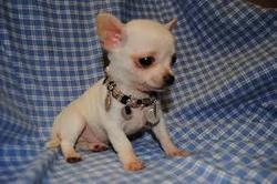 Gaspar, chien Chihuahua