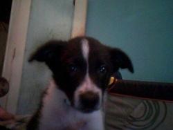 Gaspard, chien Border Collie