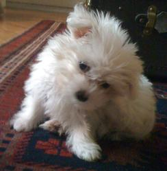 Gaspard, chien Bichon maltais