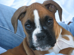 Gaspard, chien Boxer