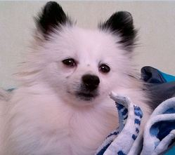 Gaspard, chien Spitz allemand