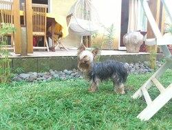 Gaspard, chien Yorkshire Terrier