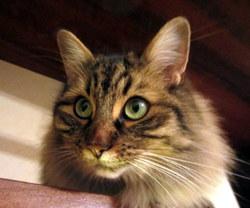 Gaspard, chat Européen