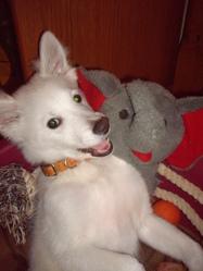 Gaspard, chien Spitz japonais