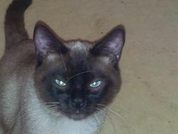 Gaspard, chat Siamois