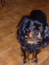Gaspard, chien Cavalier King Charles Spaniel