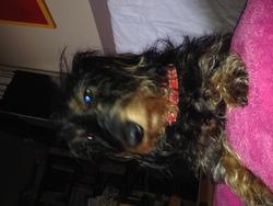 Gaspard, chien Teckel
