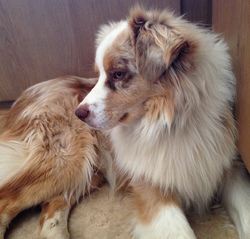 Gaspé, chien Berger australien