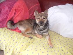 Gasper, chien Shiba Inu