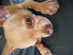 Gasper, chien Chihuahua