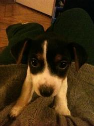 Gaston, chien Jack Russell Terrier