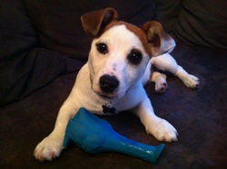 Gaston, chien Jack Russell Terrier