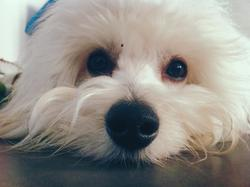 Gaston, chien Coton de Tuléar