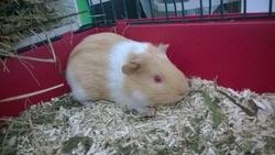 Alphonse, rongeur Cochon d'Inde