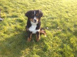 Gaston, chien Bouvier bernois