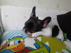 Gaya, chien Bouledogue français
