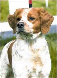 Gato, chien Épagneul breton