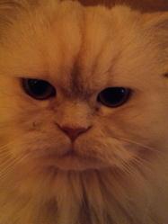Gatsby, chat Persan