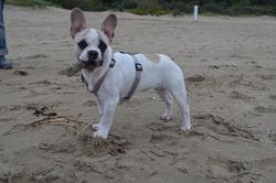 Gatsby, chien Bouledogue français