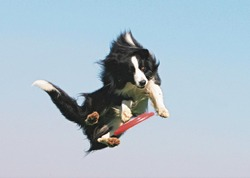 Gatshou, chien Border Collie