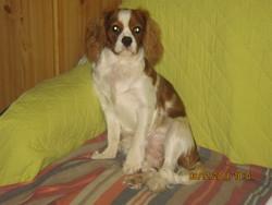 Gaufrette, chien Cavalier King Charles Spaniel
