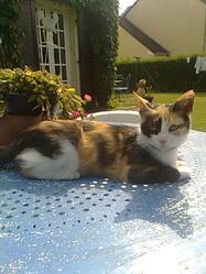 Gaufrette, chat Européen
