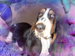 Gaufrette, chien Basset Hound