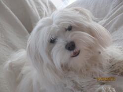 Gaufrette, chien Coton de Tuléar