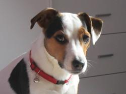Gaufrette, chien Jack Russell Terrier