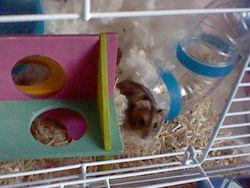 Gaufrette Au Paradis, rongeur Hamster