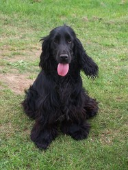 Gaulois, chien Cocker anglais