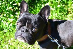 Gauvin, chien Bouledogue français