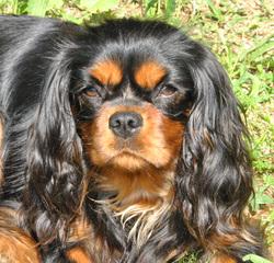 Gavotte, chien King Charles Spaniel