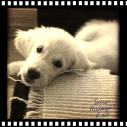 Gavroche, chien Golden Retriever